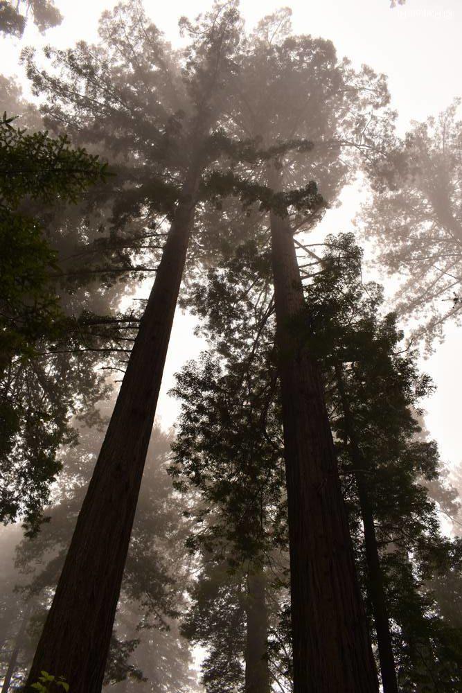 редвуд дерево