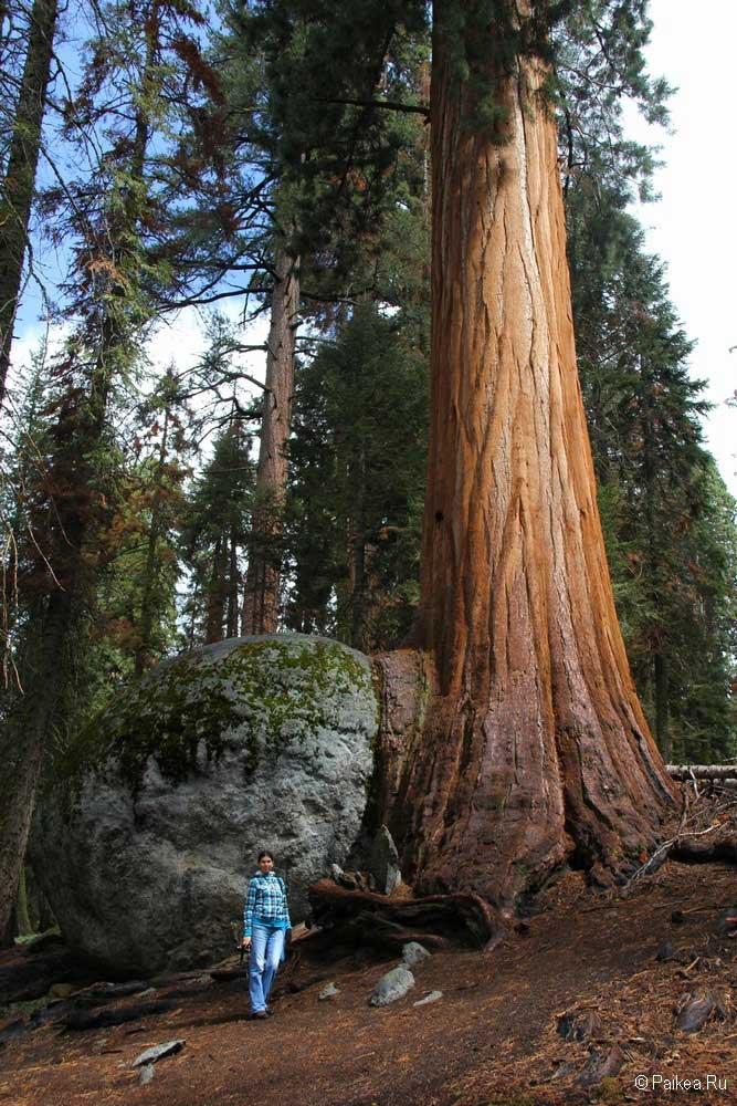 высокое дерево в парке секвойя, калифорния, сша