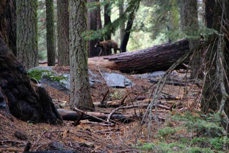 медведь в парке секвойя, калифорния, сша