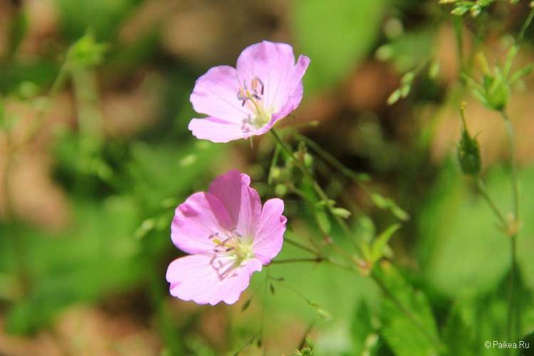 шенандоа цветы