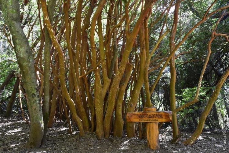 дерево арраян (arrayan), барилоче