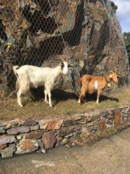 chèvres en Sardaigne