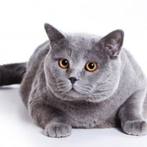 Gatos têm tendência a serem obesos