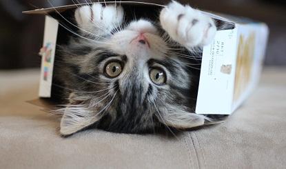 Os felinos adoram entrar em caixas. Confira as atrapalhadas que eles fazem