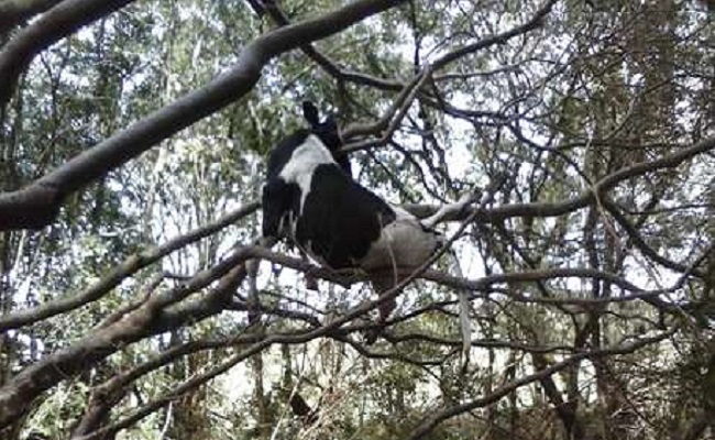 Vaca fica presa em árvore após ser levada por enxurrada