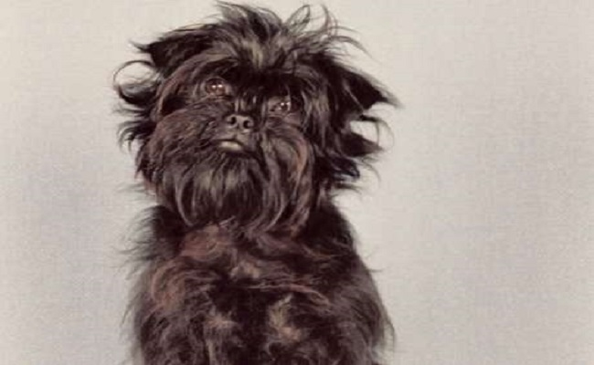 Conheça as raças de cães originárias da Alemanha