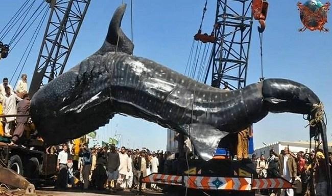 Bagre de 2 toneladas é pescado. Veja fotos