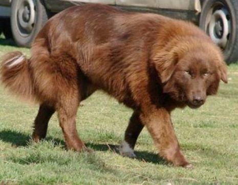 Conheça as raças de cães consideradas as mais perigosas do mundo