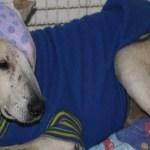 Cão espancado por idosa ganha plano de saúde vitalício no ES