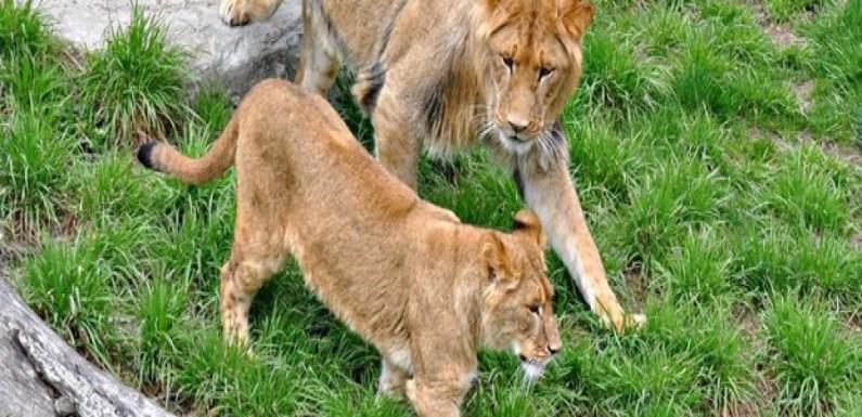 Tratadora tem pescoço quebrado após ataque de leoa em zoo no Canadá