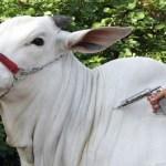 Começa dia 15 em Rondônia nova etapa de vacinação contra a febre aftosa