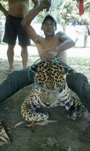 A onça-pintada (Pantera onca) é o maior felino do continente americano, podendo chegar a 135 quilos e está ameaçada de extinção