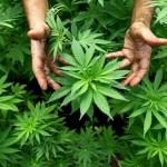 Senado da Argentina aprova uso medicinal da maconha