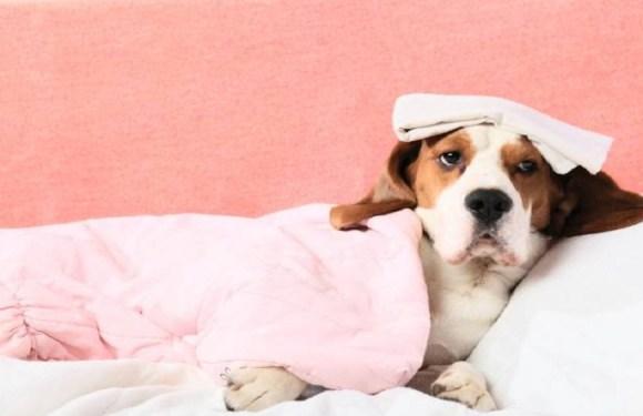 Saiba quais são as 5 doenças que pets e humanos têm em comum