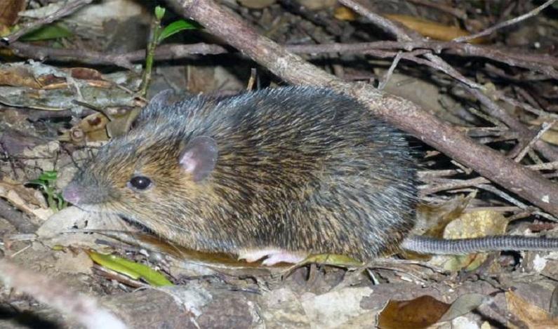 Rato com 'flexibilidade sexual' pode virar macho ou fêmea
