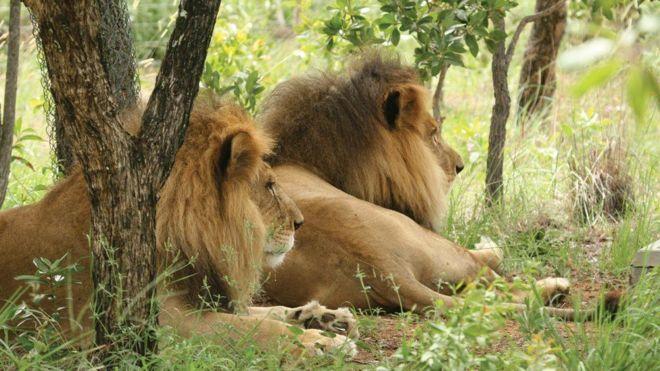 José e Liso, os leões que foram resgatados de circo no Peru e decapitados na África do Sul