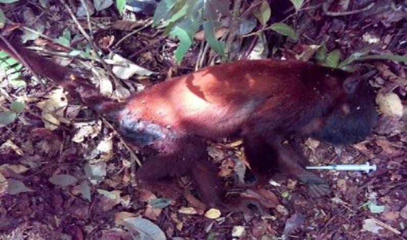 Primeiro caso de febre amarela em macaco é confirmada em Rondônia