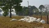 Poste de energia quebra e 52 bois morrem eletrocutados em sítio de RO