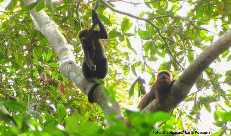 Transmissão de malária de macacos a humanos é confirmada no Rio