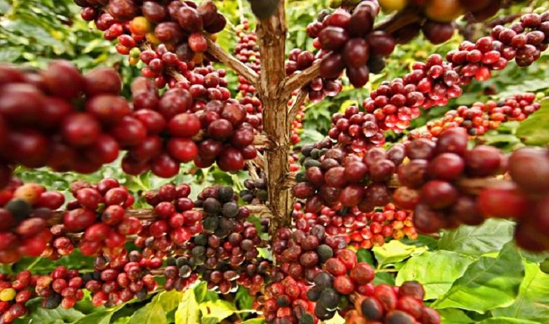 Café geneticamente modificado pode ser o único a sobreviver no planeta