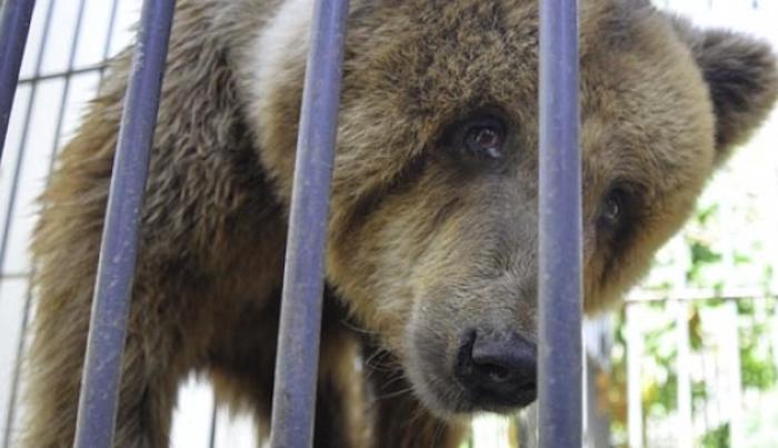 Ursa parda que vive no calor de Teresina (PI) come ração de cachorro; zoo nega maus tratos