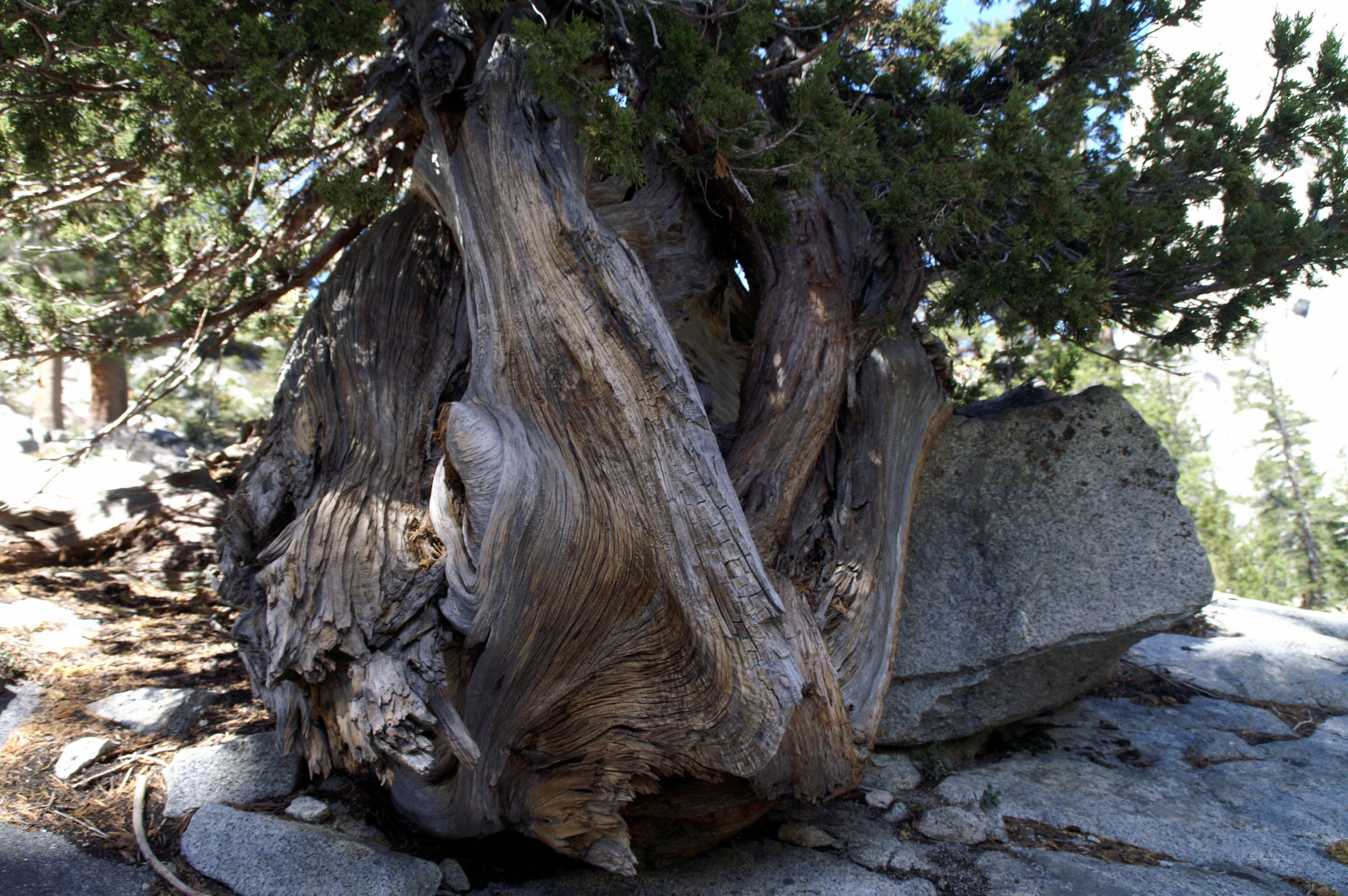 methusala-tree
