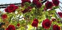 اجمل صور الورد الأحمر
