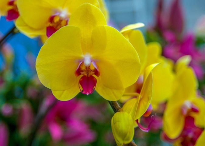 orchids-3073143_960_720