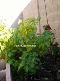 Basil and Bell Pepper
