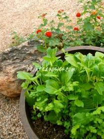 Cilantro, Spinach and Lantana