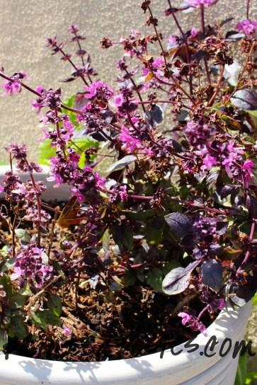 Purple Basil March 2014