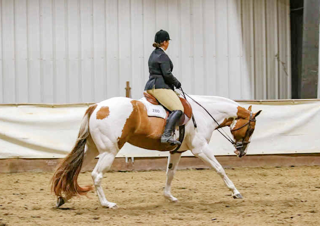 APHA Gelding Hunter Under Saddle
