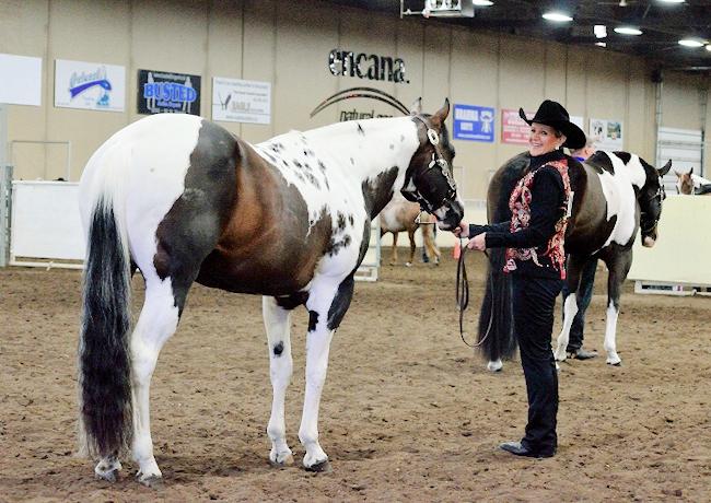 Halter Showmanship Stallion