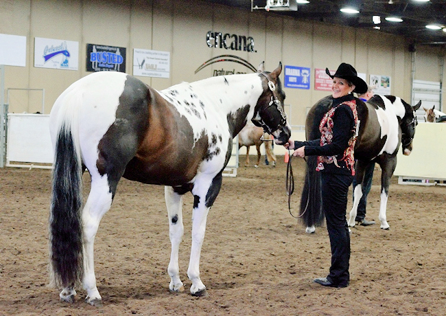 Halter Showmanship Stallion