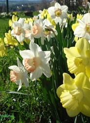 Vermont Daffodils