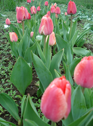 Contact the Painted Tulip for your wedding flowers