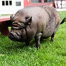 k+c pig