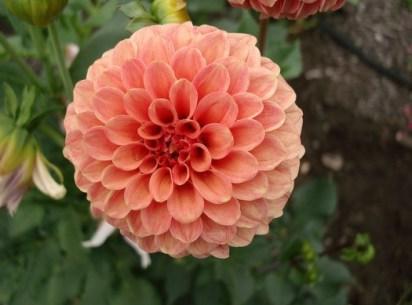 Rose Toscano