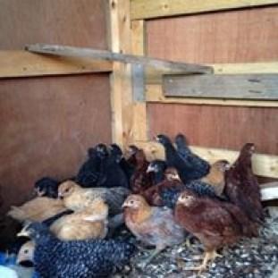 teenage chicks