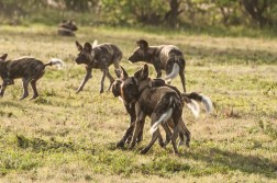 WIld Dog Group_21
