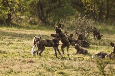 WIld Dog Group_26