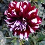 Цветы-заказать картину,Георгины и хризантемы- осенью в саду