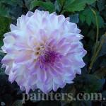 Фото-Цветы-заказать картину,Георгины осенью в саду