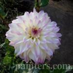 Фото-Георгины,Цветы,заказать картину,цветочный пейзаж,натюрморт,живопись маслом.