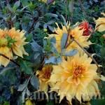 Фото-Желтые цветы-георгины,натюрморт,пейзаж,Киевский бот.сад