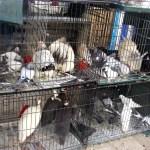 Для любителей голубей и кур-зоомагазинчик