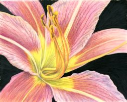 """""""Bright as Daylily"""" 8x10"""" Colored Pencil on DuraLar Film $155"""