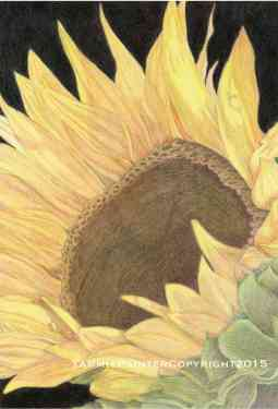 """""""Sunflower"""" 11x14"""" Colored pencil on Drawing Paper"""
