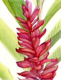 """""""Red Ginger"""" 8x10"""" Colored Pencil on Bristol $140"""
