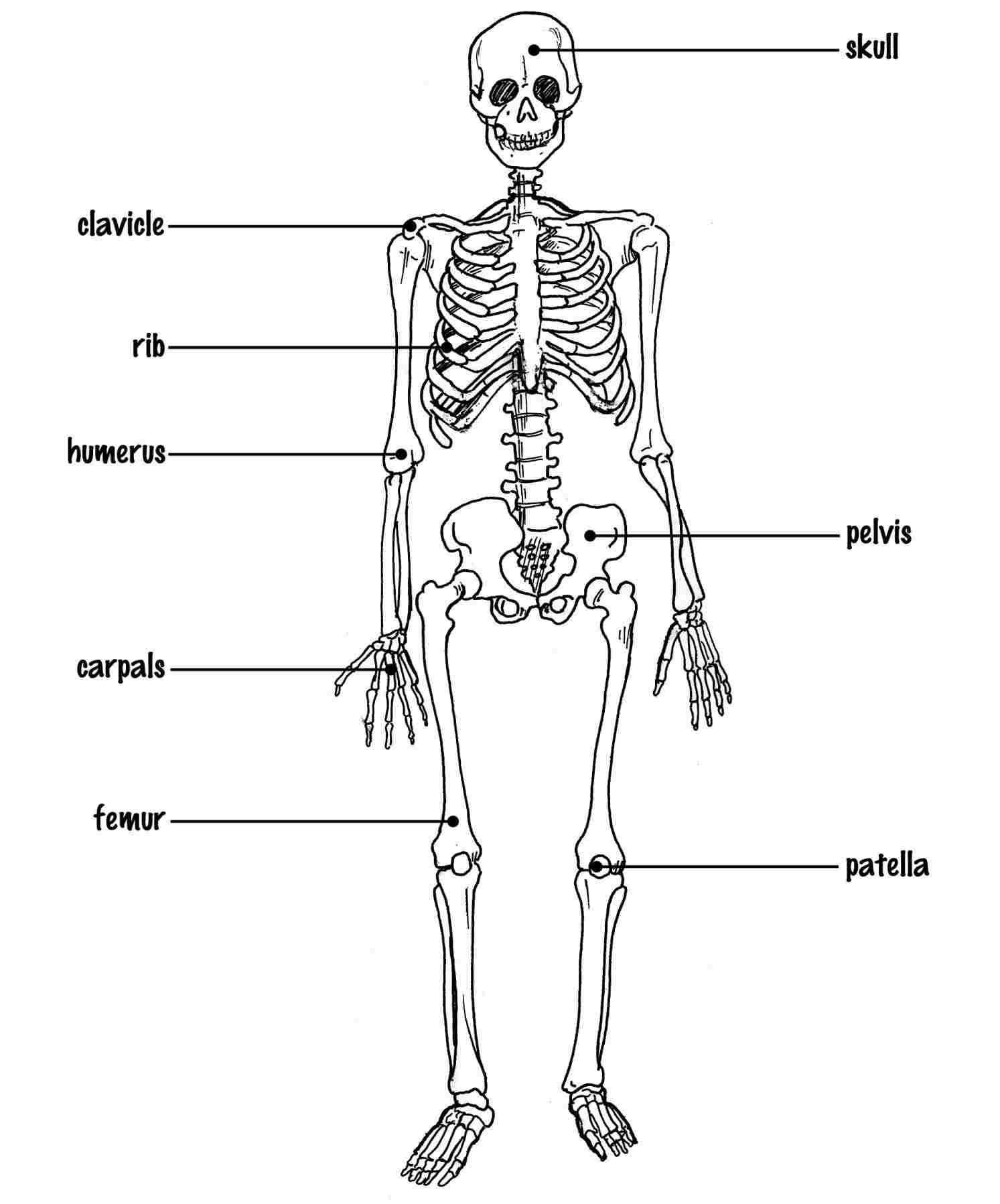 Simple Skeleton Drawing At Paintingvalley
